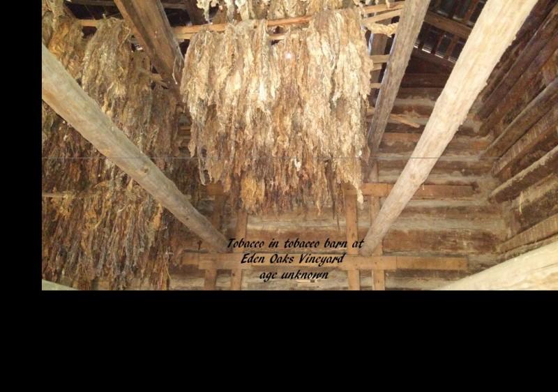 Tobacco-in-tobacco-barn